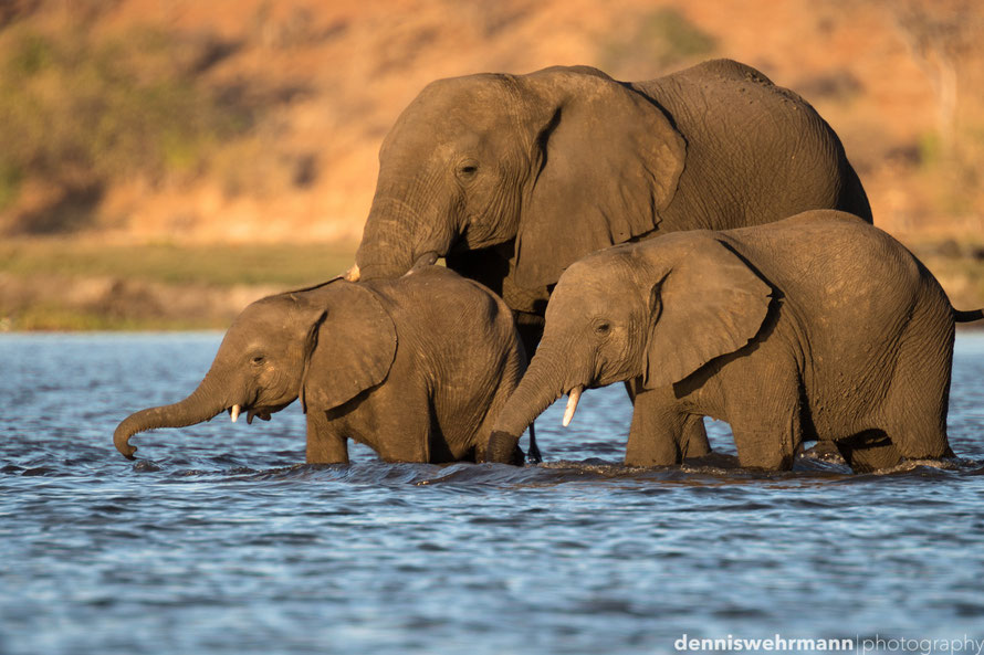 elephants crossing the chobe river to sedudu island from namibia to botswana