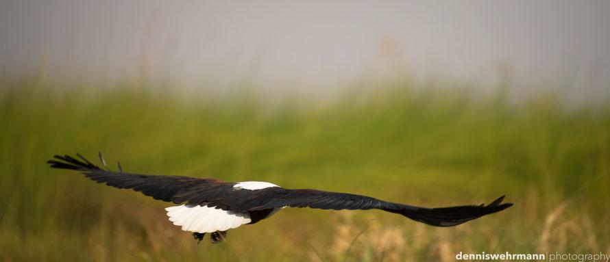 fish eagle okavango delta botswana africa