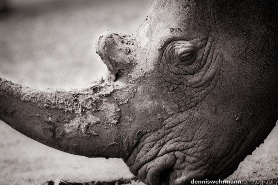 rhino serengeti park 300 mm, f2.8, 1/250 sec., iso 100