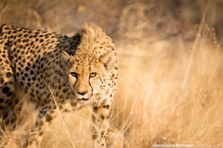 cheetah in namibia near otjiwarongo at the aloegrove safari lodge