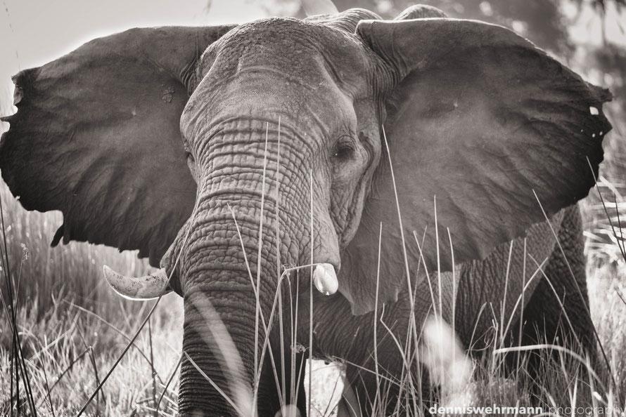 elefant at chief`s island - okavango delta botswana