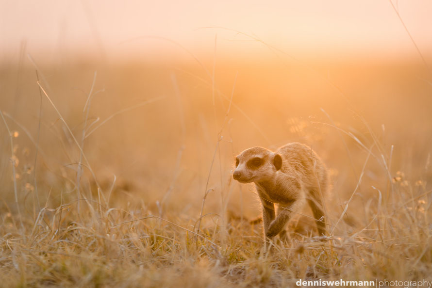 meerkat during sunset at the edge of the makgadikgadi pans in botswana, the largest salt pans of the world