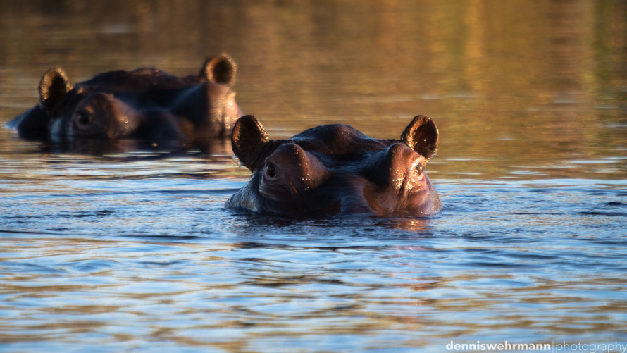 hippos relaxing in the evening light at the kwando river, caprivi strip namibia