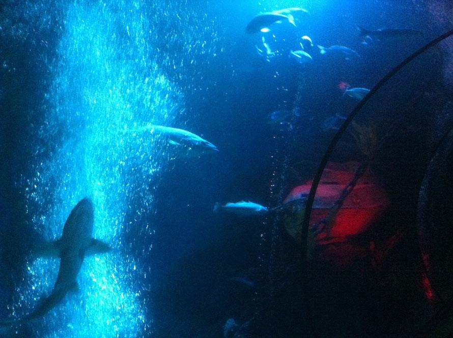 Hai im Großraumaquarium