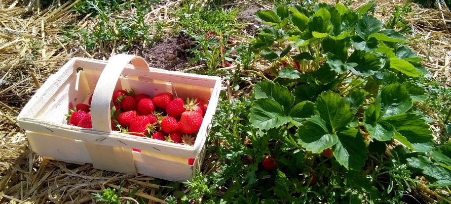 Alltagsabenteurer Alltagsabenteuer Erdbeeren selber pflücken Erdbeerfeld Körbchen Glantz Freizeit Erdbeerpflanze