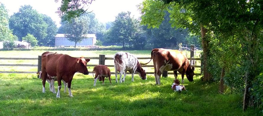 Urlaub auf dem Bauernhof Kühe Kälber Wiese Freizeit Fernweh Dithmarschen Alltagsabenteuer Alltagsabenteurer