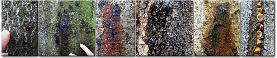Chancre bactérien des marronniers