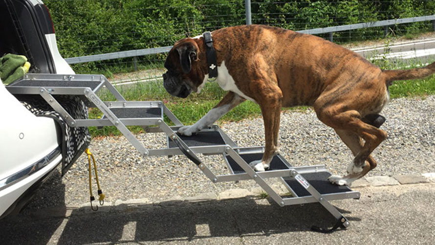 Hund steigt auf Hundetreppe ins Auto ein