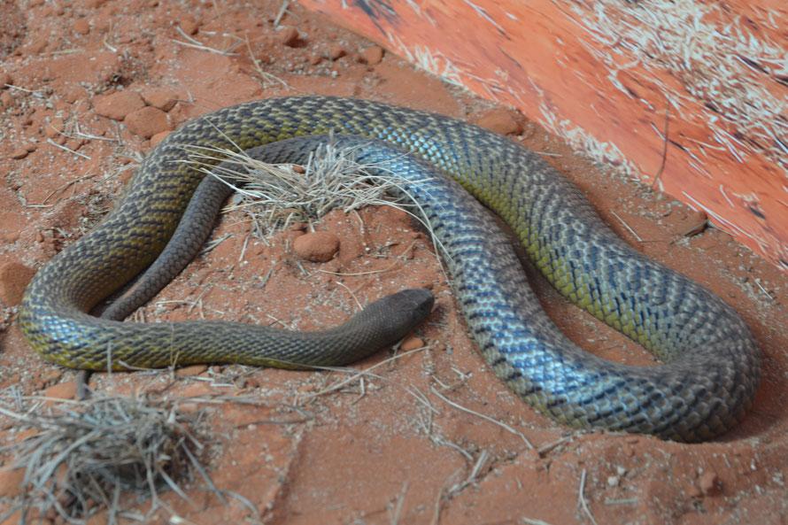 The Fierce Snake - einer der giftigeren Kandidaten. gemäss Beschilderung kann sie mit Ihrem Gift bis zu 100 erwachsene Menschen töten. (Danke, Glasscheibe )