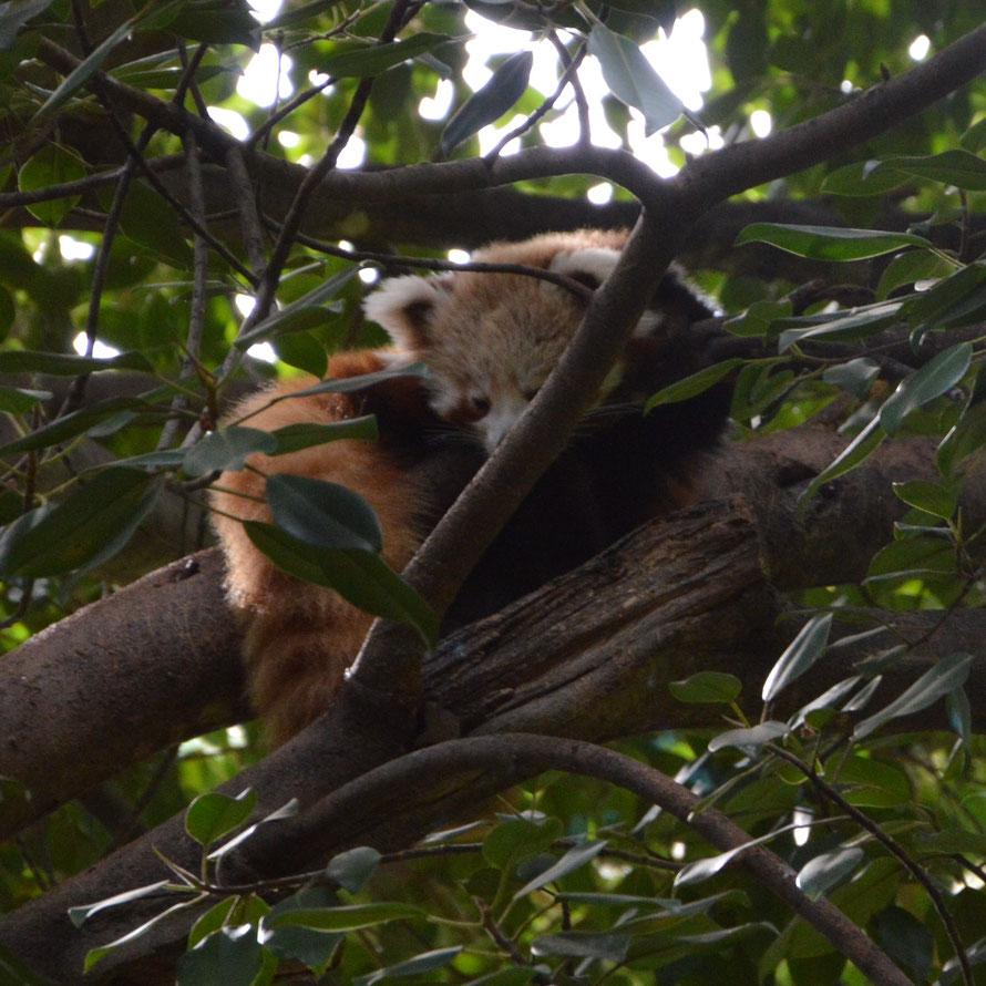 Ein roter Panda. Ohne die Hilfe eines Rangers hätte ich ihn hoch oben zwischen den Blättern gar nicht ausgemacht
