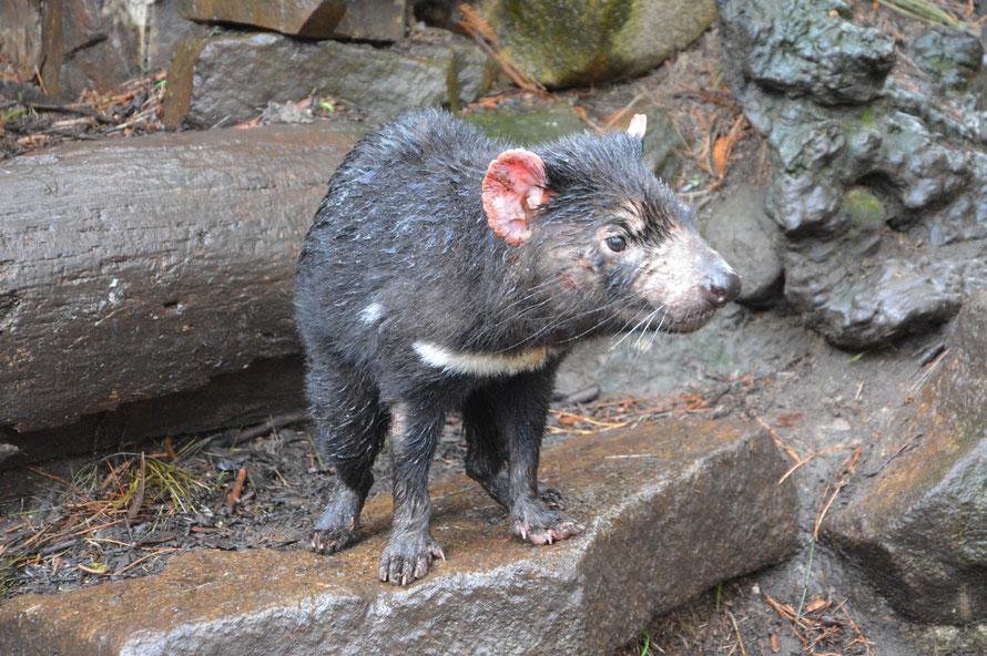 Schon auf den ersten Metern entdecken wir einen aufgeregten Tasman Devil - er rennt wie irr herum.