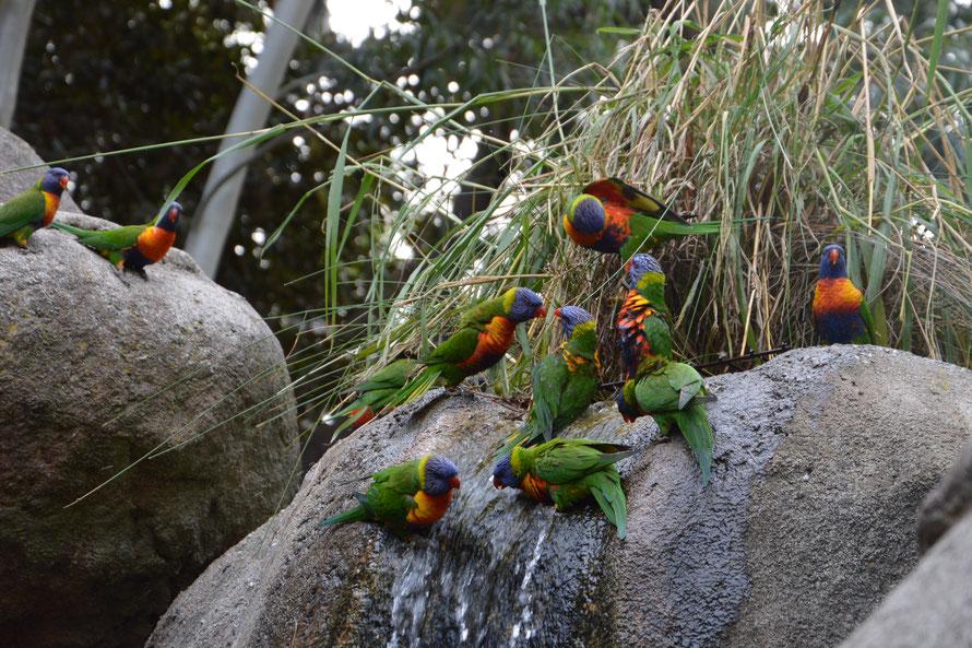 Diese Vogelgruppe hat sich lautstark um den besten Trinkplatz am kleinen Wasserfall gestritten