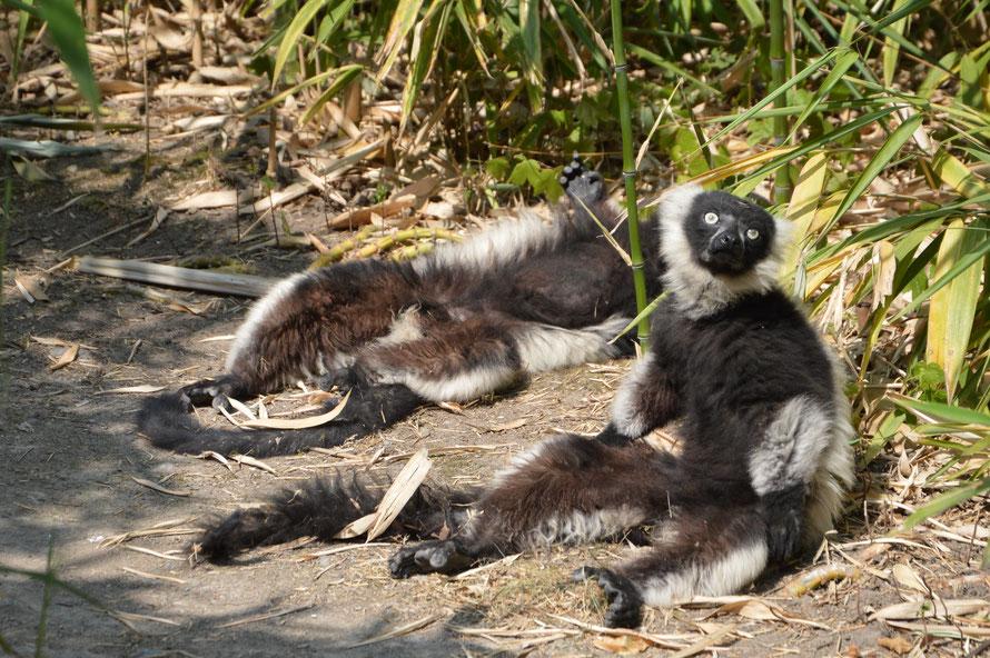 Die Lemuren haben eine eigene Insel auf der sie sich frei bewegen dürfen.