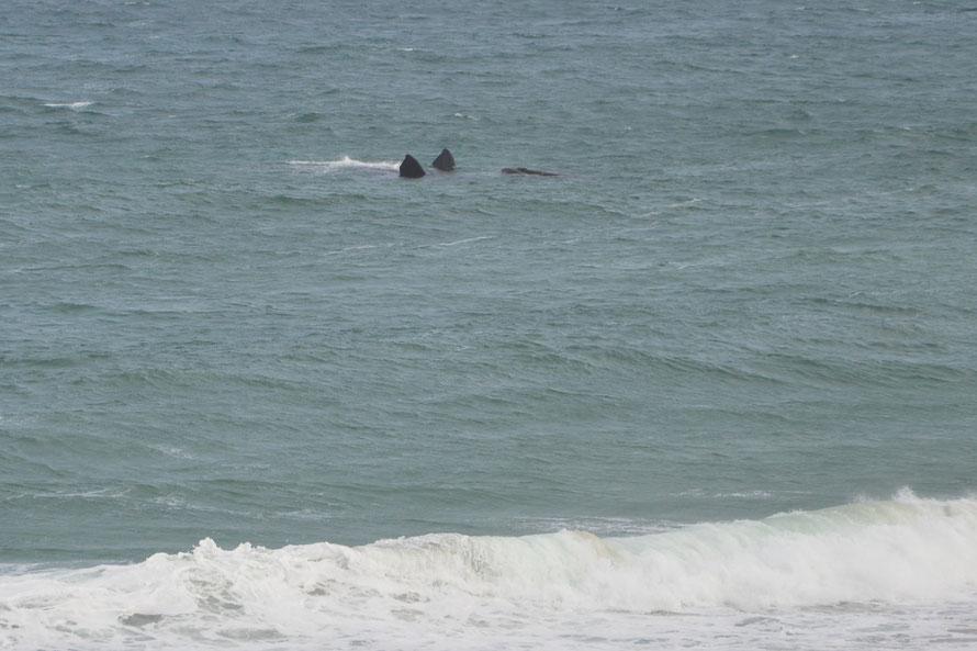 Keine zwei Haifische, nein ein Südkaper-Wal auf dem Rücken