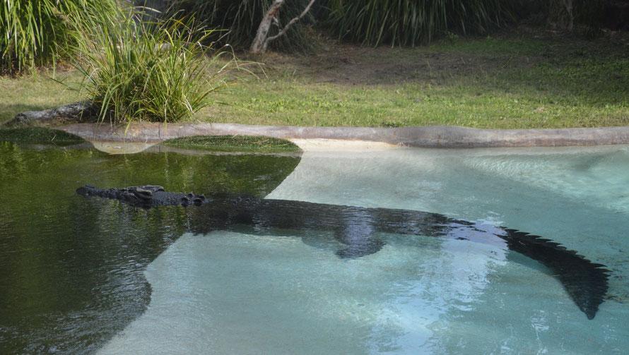 Dieses Krokodil hat definitiv mehr Platz als diejenigen, welche ich bisher in Australischen Zoos gesehen habe.