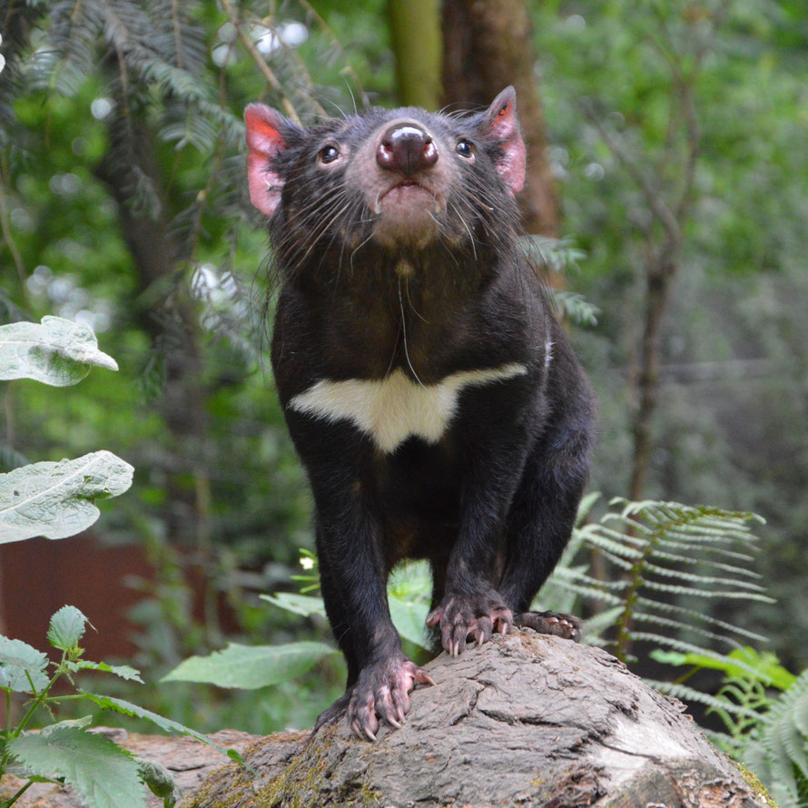 Dieser Tasmanische Teufel posiert richtiggehend fürs Foto.
