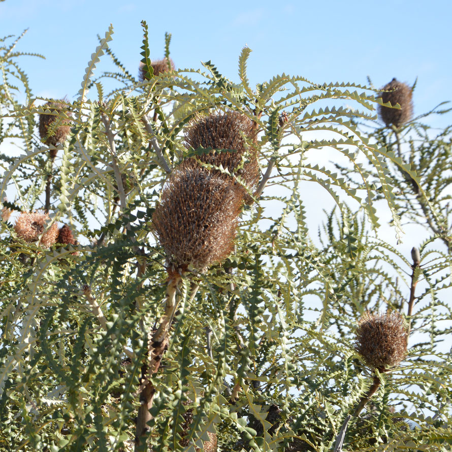 Showy Banksia - Banksia speciosa