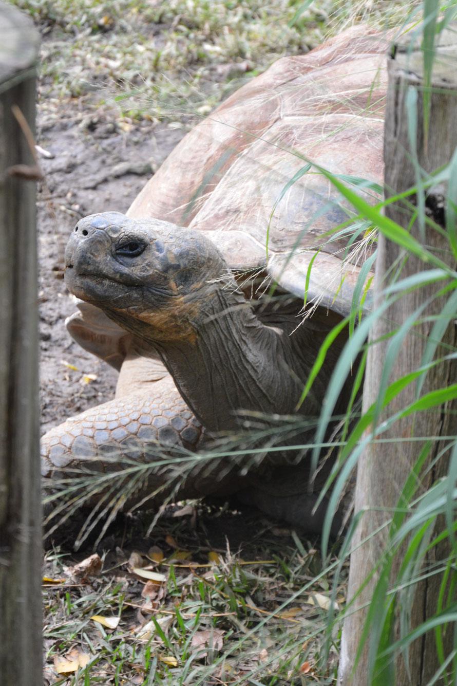 Eine Galapagos-Schildkröte. Die sind riesig und irgendwie schaut sie so weise drein.
