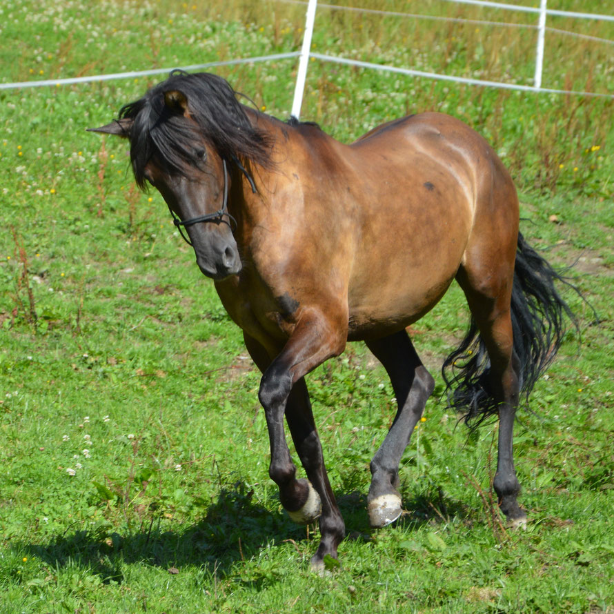 Old Shatterhands Pferd