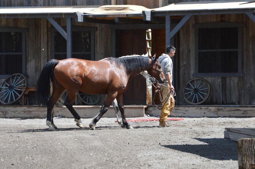 Die Pferde werden von den Stallungen hinter die Bühne gebracht.