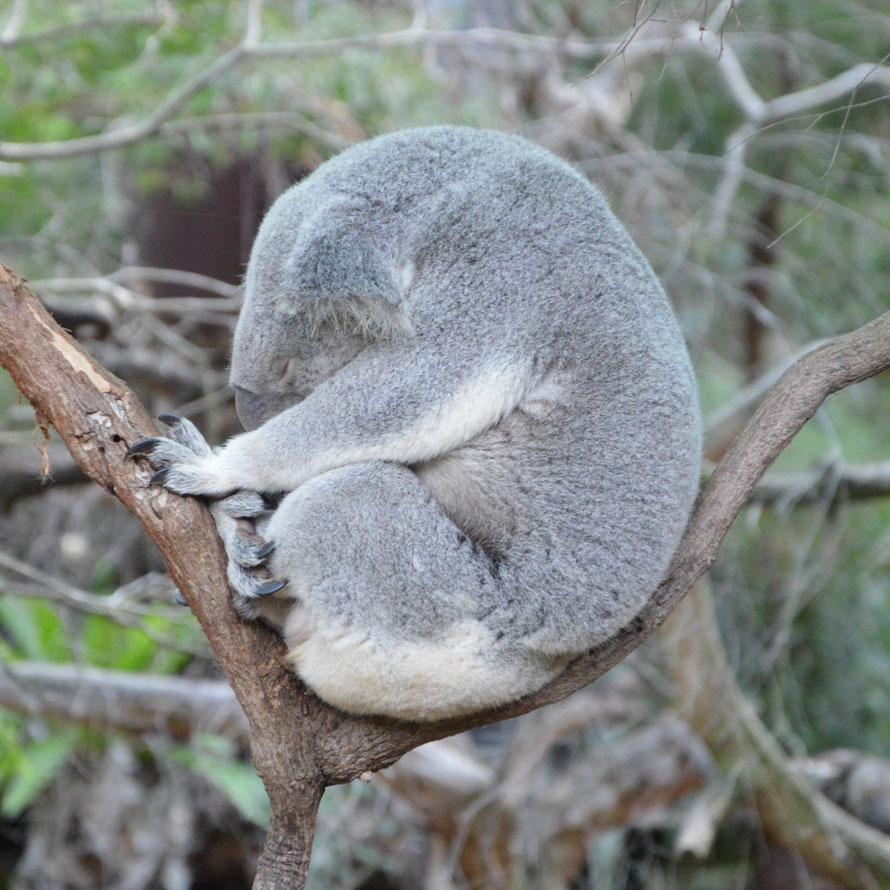 Die Koalas dürfen hier einfach Tiere sein - Streichel- oder Fotosessions gibt es hier nicht.