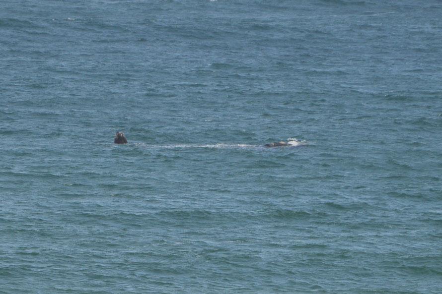 Hier seht ihr Mutti Wal mit ihrem Jungen (links)