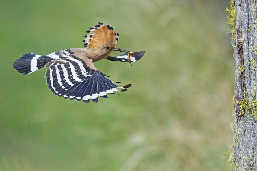 Wiedehopf Männchen Anflug auf die Bruthöhle