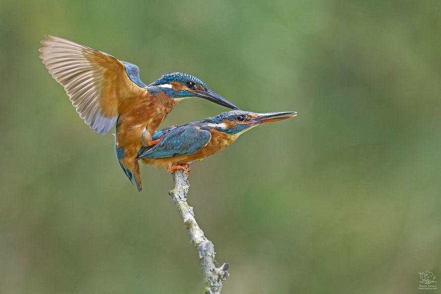 Juli 2020 - Eisvogel (Alcedo atthis) Paarung/Kopula