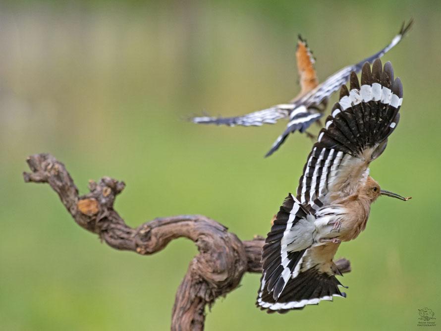 Wiedehopf Weibchen attakiert Wiedehopf Männchen vor der Bruthöhle