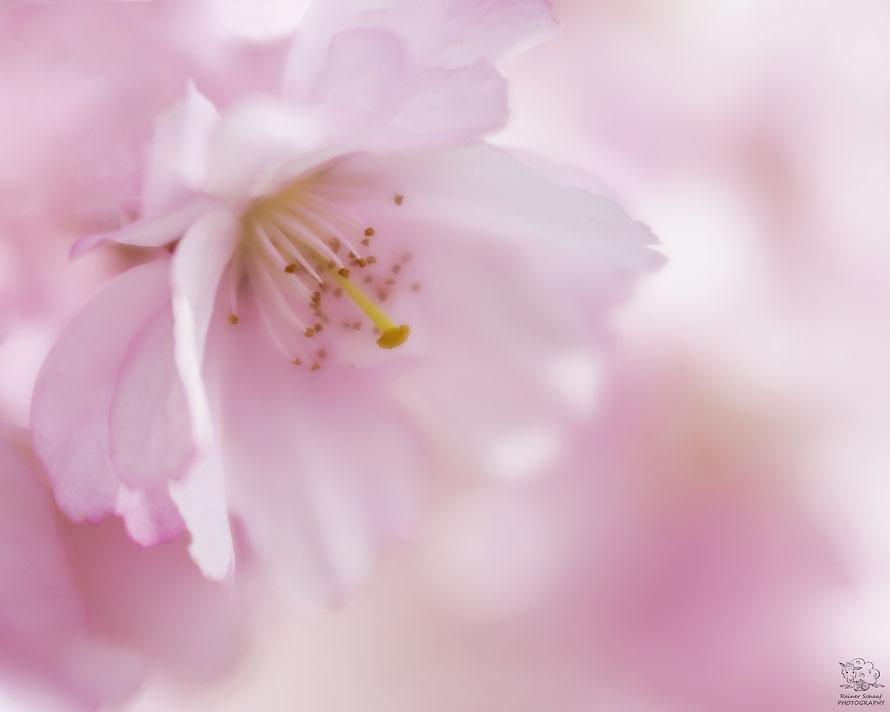April 2018 - Japanische Kirsche