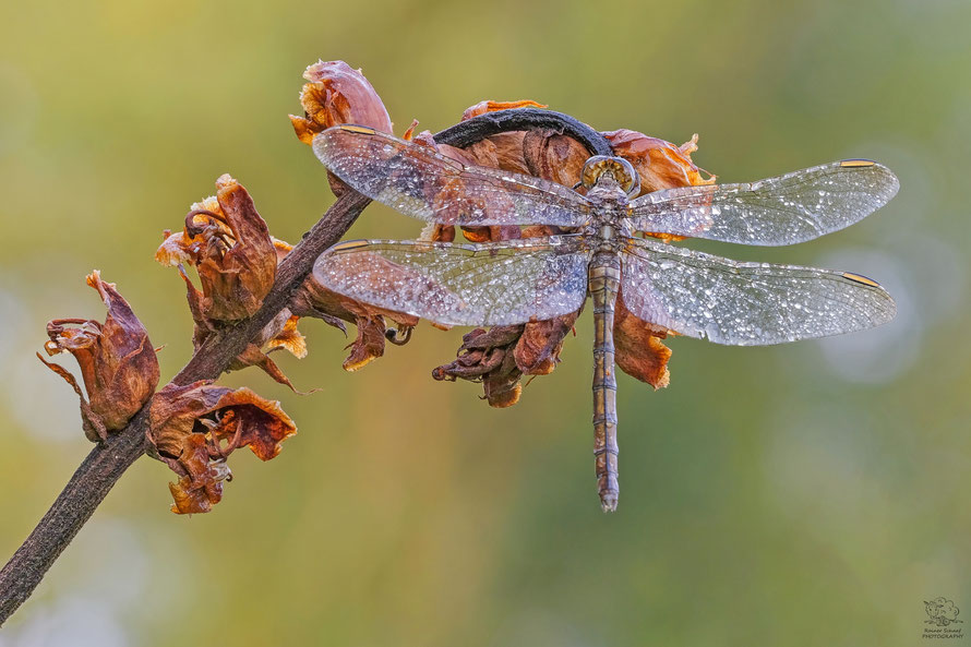Gemeine Heidelibelle / Weibchen – Sympetrum vulgatum