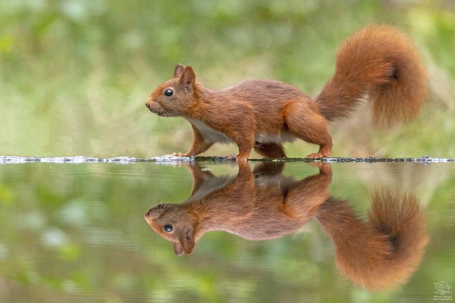 September 2020 - Eichhörnchen (Sciurus vulgaris) an der Wasserstelle