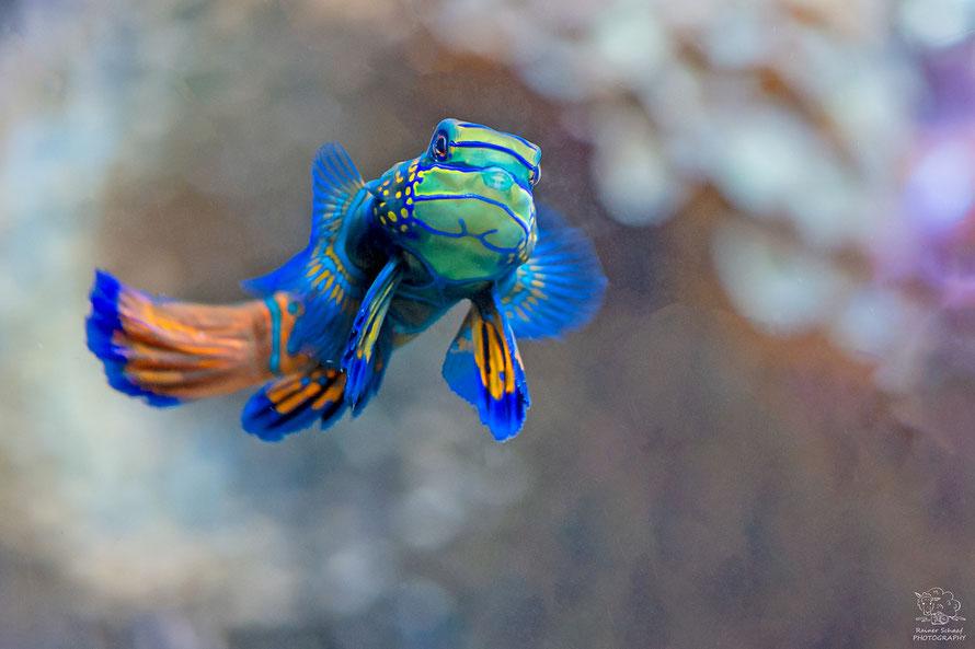 Januar 2021 - Mandarinfisch (Synchiropus splendidus)