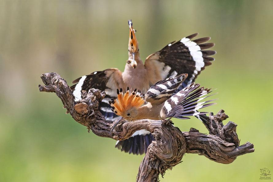Wiedehopf Männchen attackiert Wiedehopf Weibchen vor der Bruthöhle