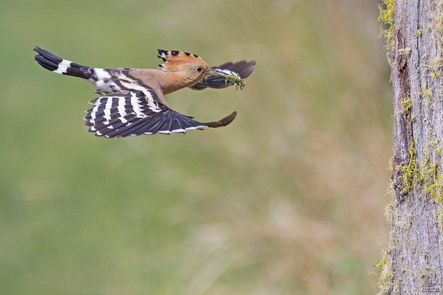 Wiedehopf Weibchen mit Grashüpfer im Anflug auf die Bruthöhle