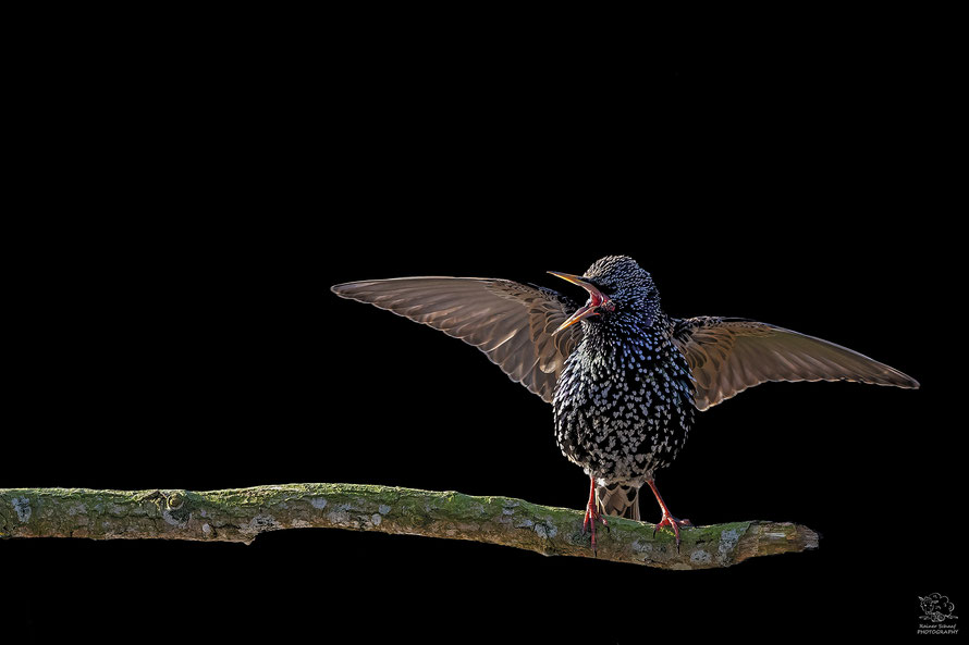 April 2020 - Star (Sturnus vulgaris) - Low Key