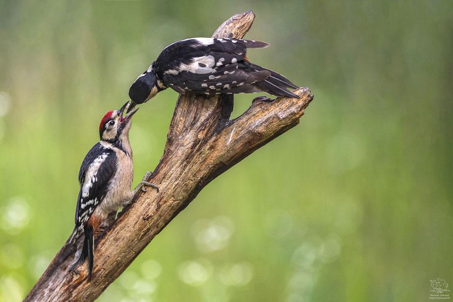 Juni 2018 - Buntspecht Weibchen füttert Buntspecht Junges