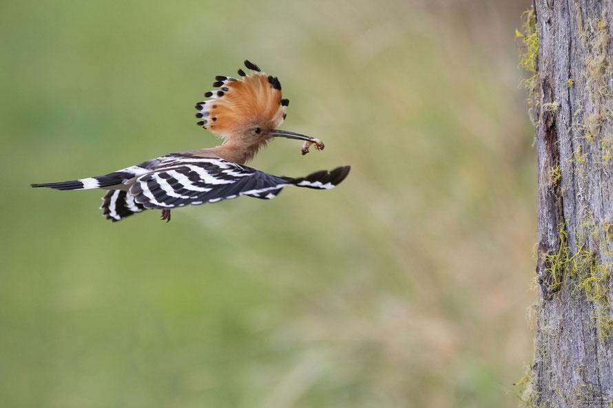 Wiedehopf Männchen im Anflug auf die Bruthöhle