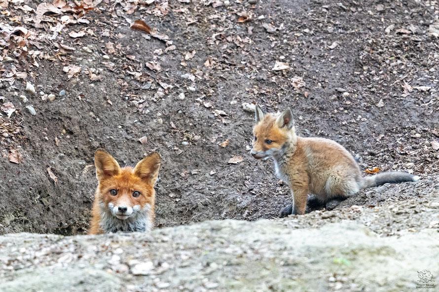 Mai 2021 - Rotfuchs (Vulpes vulpes) mit Nachwuchs
