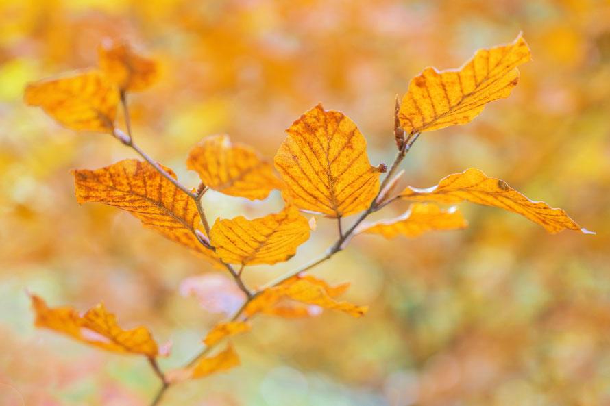 Oktober 2019 - Rotbuche im Herbst