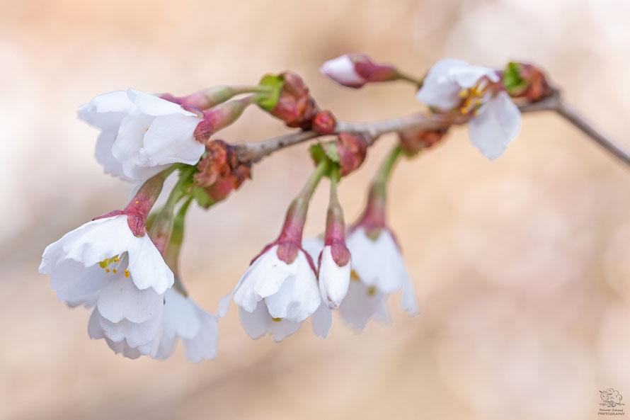 April 2021 - Japanischer Kirsche  (Prunus)