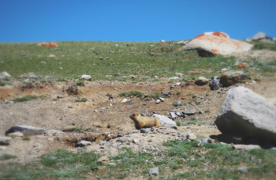 bigousteppes mongolie marmotte