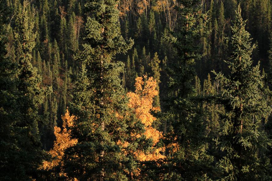 J'aime ces jeux de couleurs entre les différentes espèces d'arbres