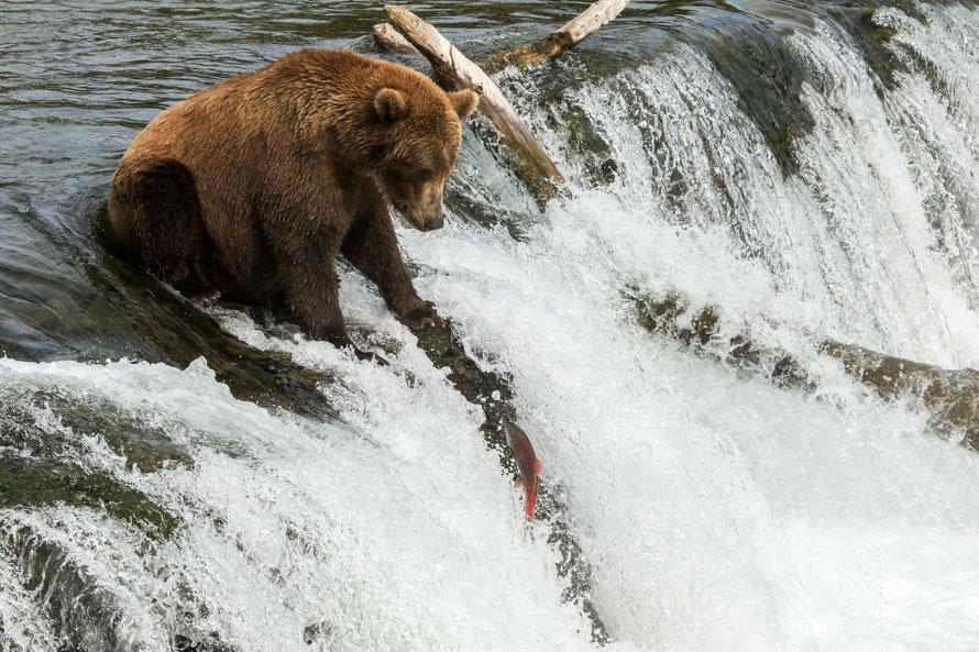 Pas sympa cette nonchalance pour ce saumon qui se donne du mal à atteindre cette hauteur