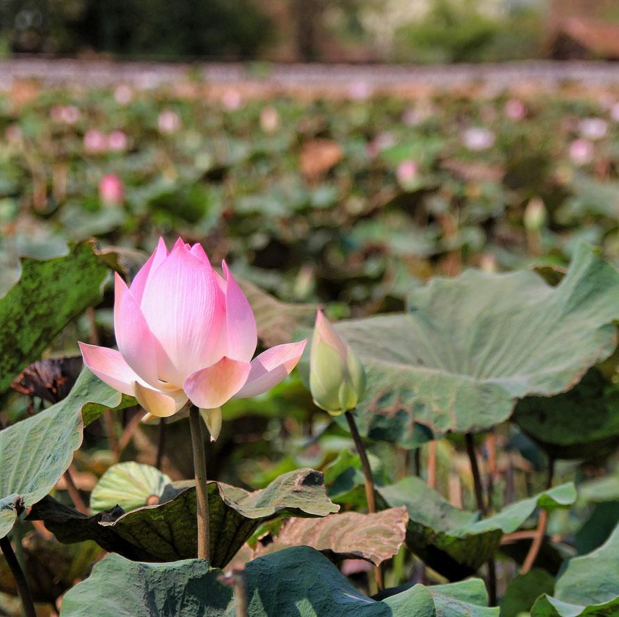 Die großen Blätter des Lotos sind wasserabweisend und dadurch auch kaum schmutz- und keimanfällig. Eine ganz besondere Pflanze.