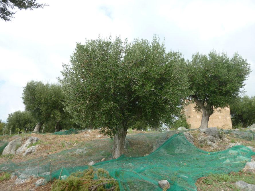 Ein kleiner Olivenhain oberhalb der Bucht Cala Fortuna bei Lentiscosa im Nationalpark Cilento.