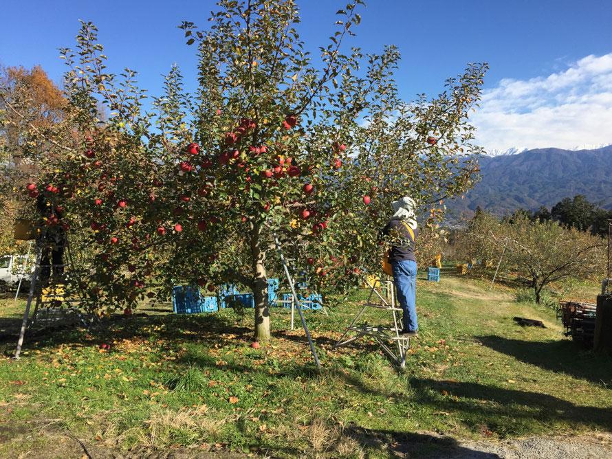 雪融けの果樹園でサンふじ収穫