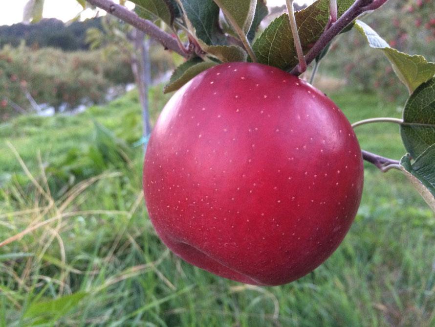 美味しいりんご「シナノホッペ」