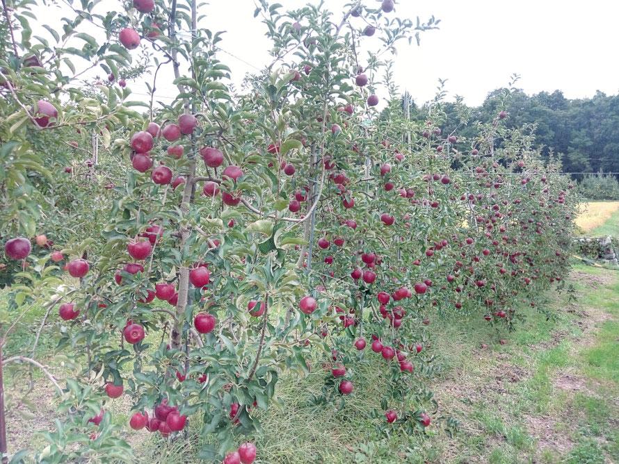 収穫直前の秋映も無事でした。