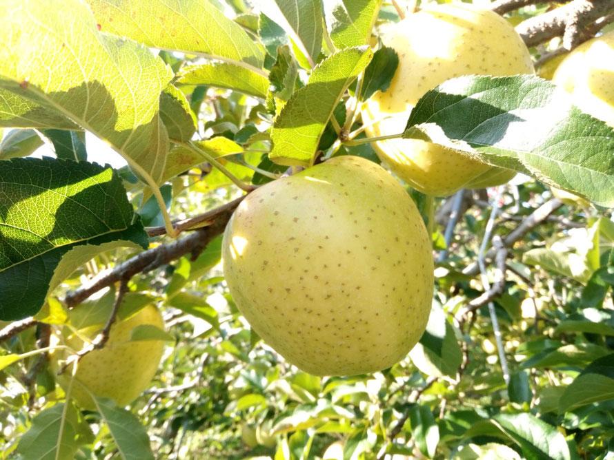 黄色く色つき、果点が上がり完熟を迎えた王林